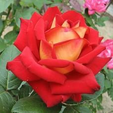 Роза Нью фэшн
