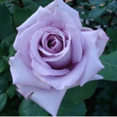 Купить саженцы Роза Блю Парфюм Штамбовая | АгроСад
