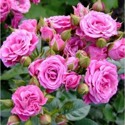 Купить саженцы Роза Пинк Спрей | АгроСад
