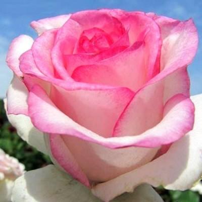 Купить саженцы Роза Дольче Вита | АгроСад