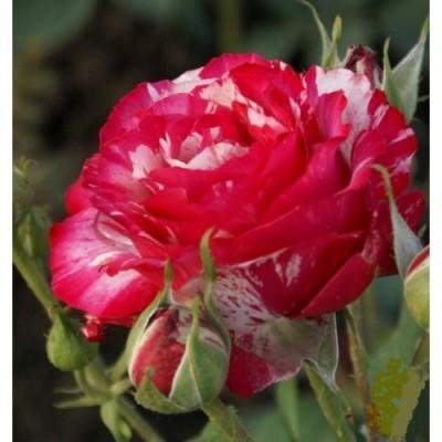 Купить саженцы Роза Сатина | АгроСад