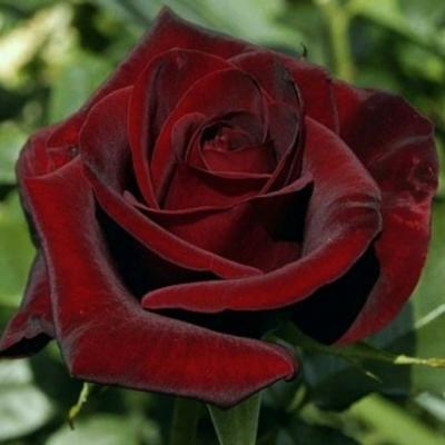 Купить саженцы Роза Блэк Мэджик Штамбовая | АгроСад