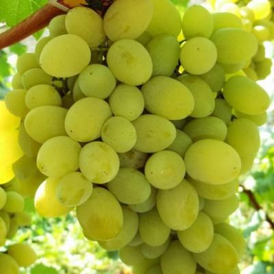 Купить саженцы Виноград Плевен | АгроСад
