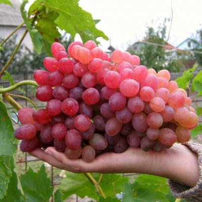 Купить саженцы Виноград Велес | АгроСад