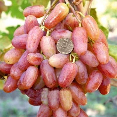 Купить саженцы Виноград Преображение | АгроСад