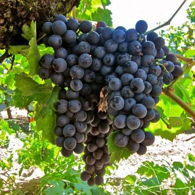 Купить саженцы Виноград Сфинкс | АгроСад