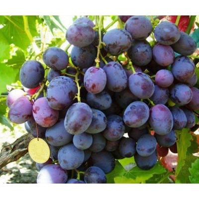 Купить саженцы Виноград Армани | АгроСад